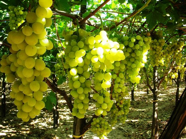 Uva da tavola interviene la regione puglia - Uva da tavola di mazzarrone ...