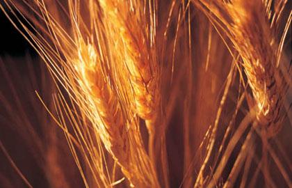 Speciale grano duro: prezzi in rialzo