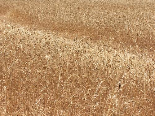 Mercato cereali, ottime prospettive in UE
