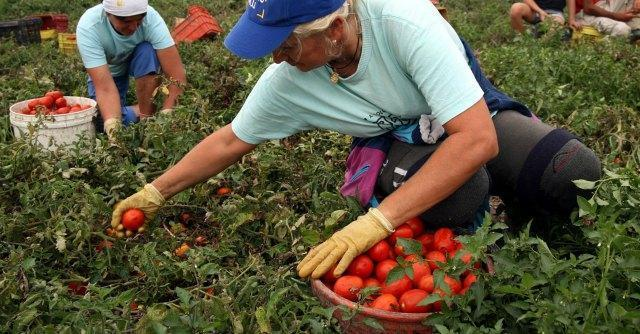 lavoro-raccolta-pomodori.jpg